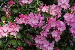 Rhododendron 'Boccia'