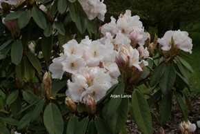Rhododendron 'Mount Everest'