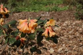 Rhododendron 'Conroy'