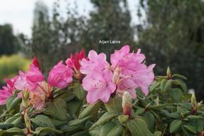 Rhododendron 'Karl Foerster'