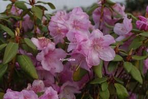 Rhododendron 'Gustav Lüttge'