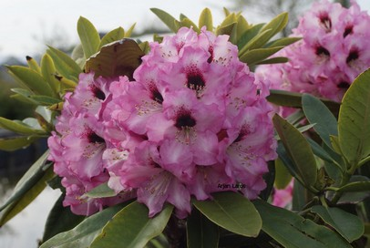 Rhododendron 'Caramba'