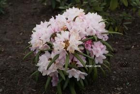Rhododendron makinoi 'Fuju kaku no matsu'