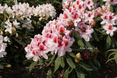 Rhododendron 'Hachbela' (BELAMI)