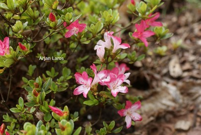 Rhododendron 'Izumi no mai' (Azalea)