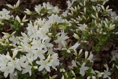 Rhododendron 'Cascade' (Azalea)