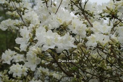 Rhododendron 'Bernina' (Azalea)