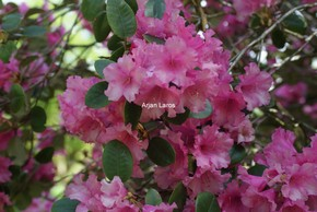 Rhododendron 'Stockholm'