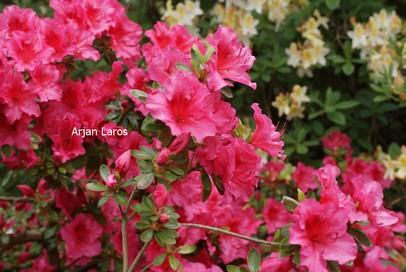 Rhododendron 'Vuyk's Rosyred' (Azalea)