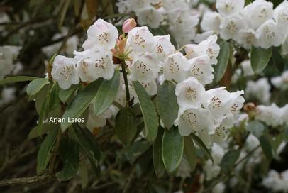 Rhododendron argyrophyllum hypoglaucum