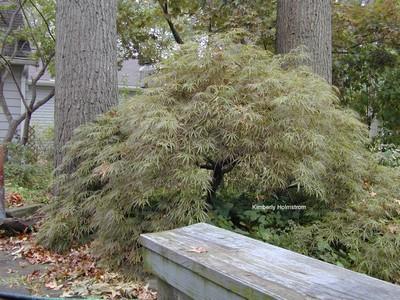 Acer palmatum 'Kim'