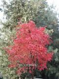 Acer palmatum 'Peve Chameleon'