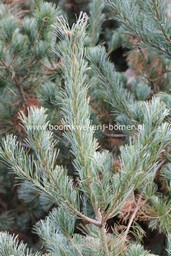 Pinus parviflora 'Blue Giant'