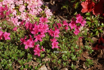 Rhododendron 'Takachiho' (Azalea)