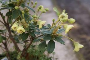 Rhododendron brachyanthum hypolepidotum
