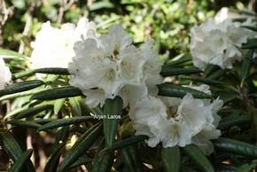 Rhododendron 'Oberschlesien'
