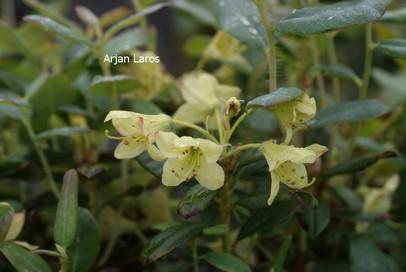 Rhododendron caesium