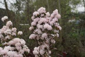Rhododendron hemitrichotum