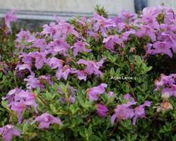 Rhododendron calostrotum keleticum radicans