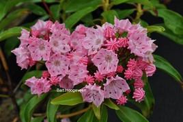 Kalmia latifolia 'Ewa'