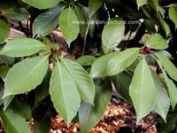Quercus glauca