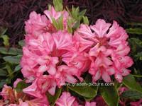 Rhododendron 'Prinz Karneval'