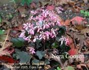 Saxifraga cortusifolia 'Black Ruby'