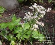 Aceriphyllum
