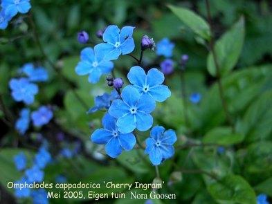 Omphalodes cappadocica 'Cherry Ingram'