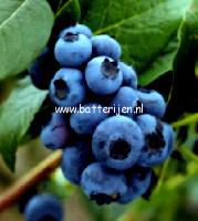 Vaccinium corymbosum 'Bluejay'
