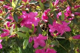 Rhododendron 'Blue Danube' (Azalea)