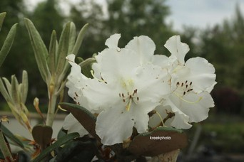 Rhododendron 'Yakusmir' (yakushimanum x smirnowii)