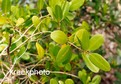 Laguncularia