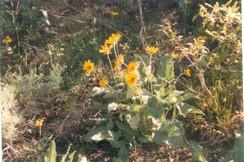 Balsamorhiza