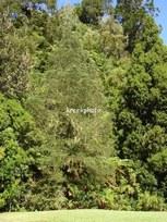 Dacrycarpus