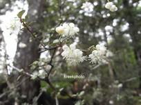 Neomyrtus