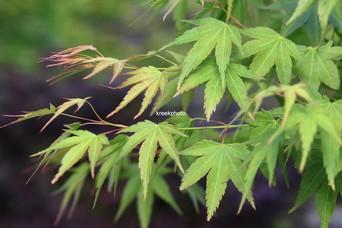 Acer palmatum 'Haibara'