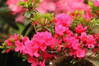 Rhododendron 'Sophie Scholl' (Azalea)