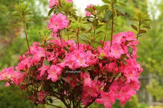 Rhododendron 'Kirstin' (Azalea)