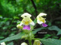 Galeopsis
