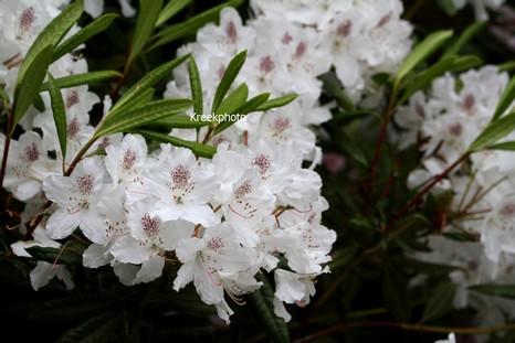 Rhododendron annae