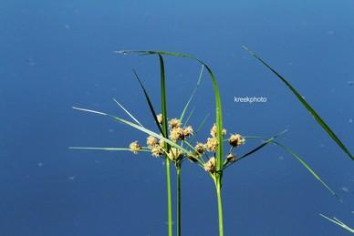 Scirpoides