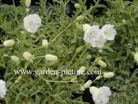 Silene uniflora 'Weisskehlchen'