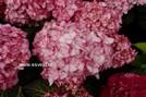 Hydrangea macrophylla 'H2002' (MISS SAORI)