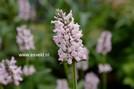 Stachys officinalis 'Pinky'