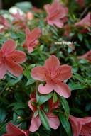 Rhododendron nakaharae 'Alexander'