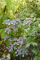 Hydrangea serrata 'Sahashi-no-sho'