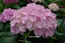 Hydrangea macrophylla 'Youme H1917' (LOVE)