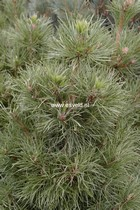 Pinus sylvestris 'Globosa Viridis'