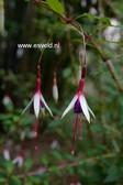 Fuchsia magellanica var. arauco